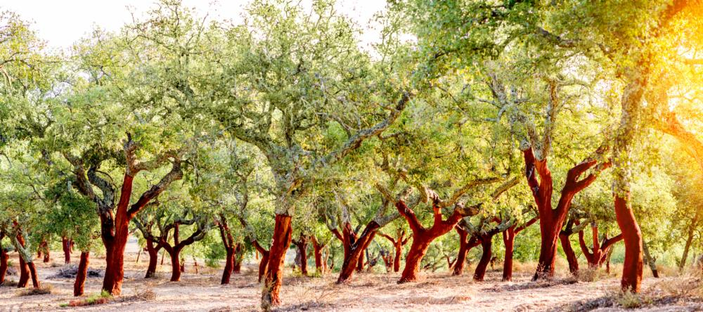 Cork trees growing in the Algarve | The Best Day Trips from Albufeira