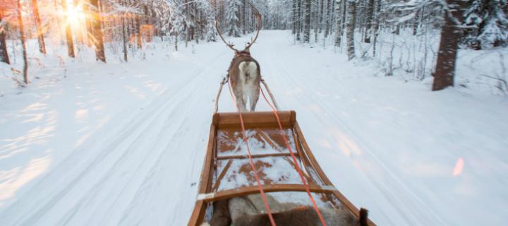 Santa's Reindeer in Lapland